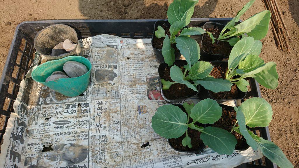 ジャガイモの種イモとキャベツの苗