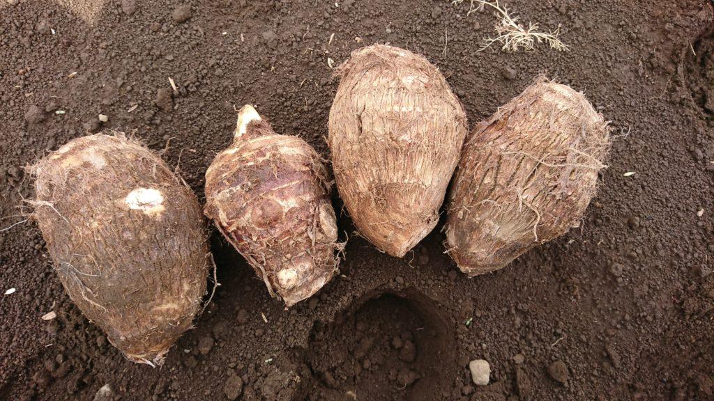 里芋の種イモ