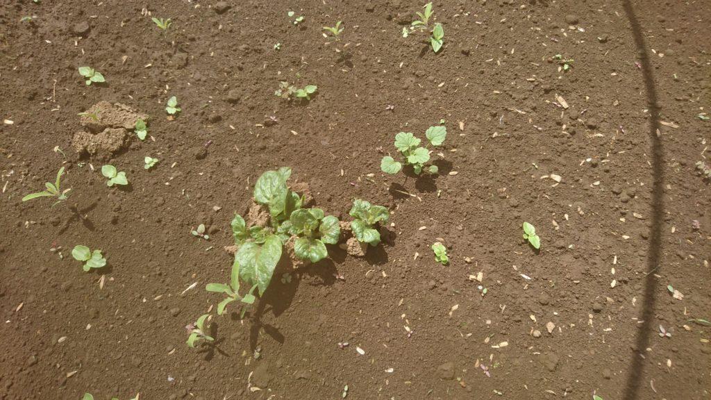 ようやく顔を出したジャガイモの芽