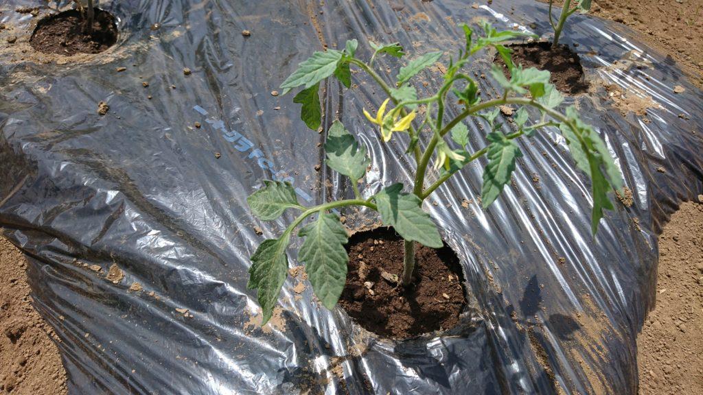 トマトの苗は花を外側向けて植える