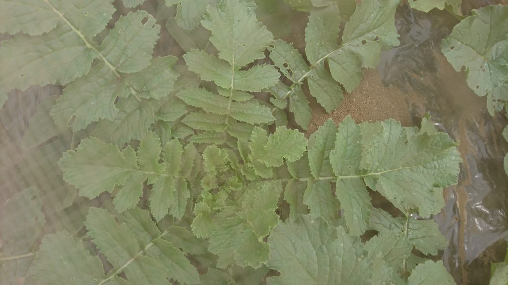 葉を大きく広げた大根