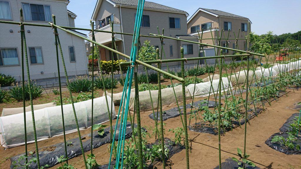 夏野菜の支柱立て