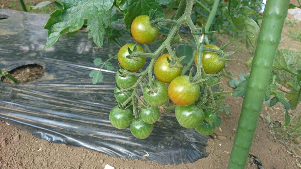 うっすら色づいてきたミニトマト