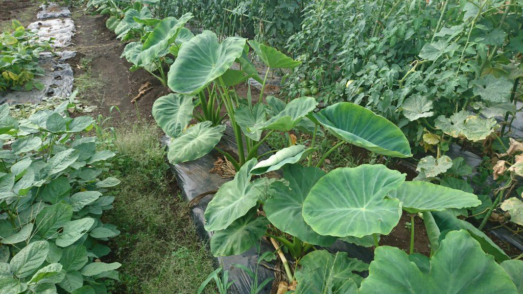 里芋の根元に収穫を終えたトウモロコシをかぶせておく