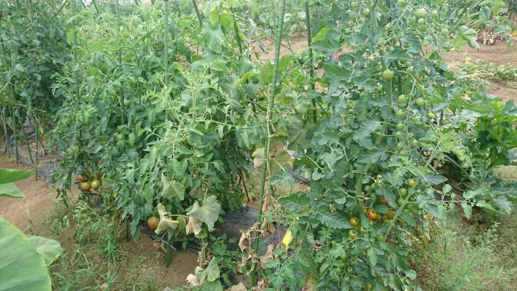 トマトが収穫ピークに