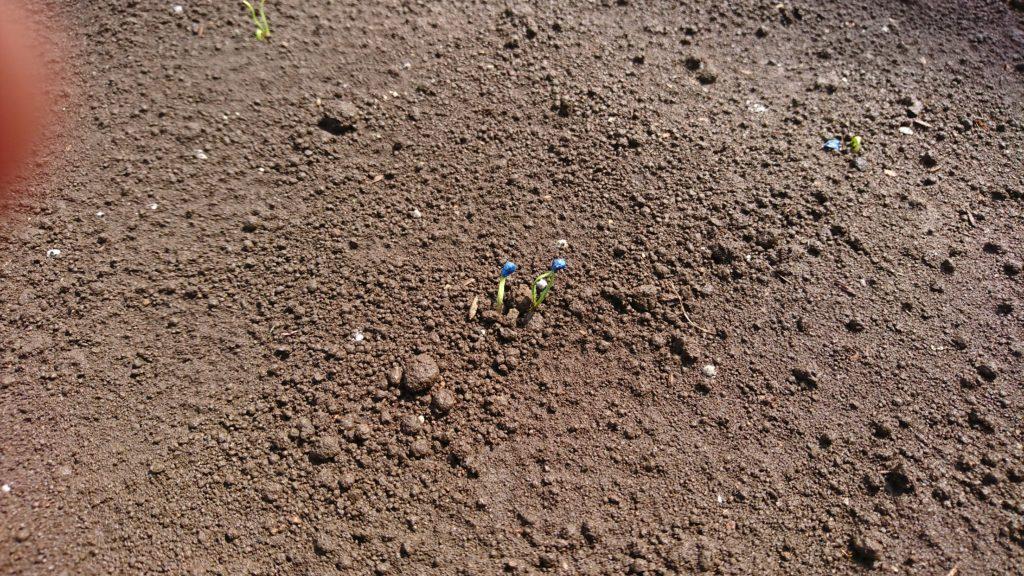 ホウレンソウも芽が出たよ