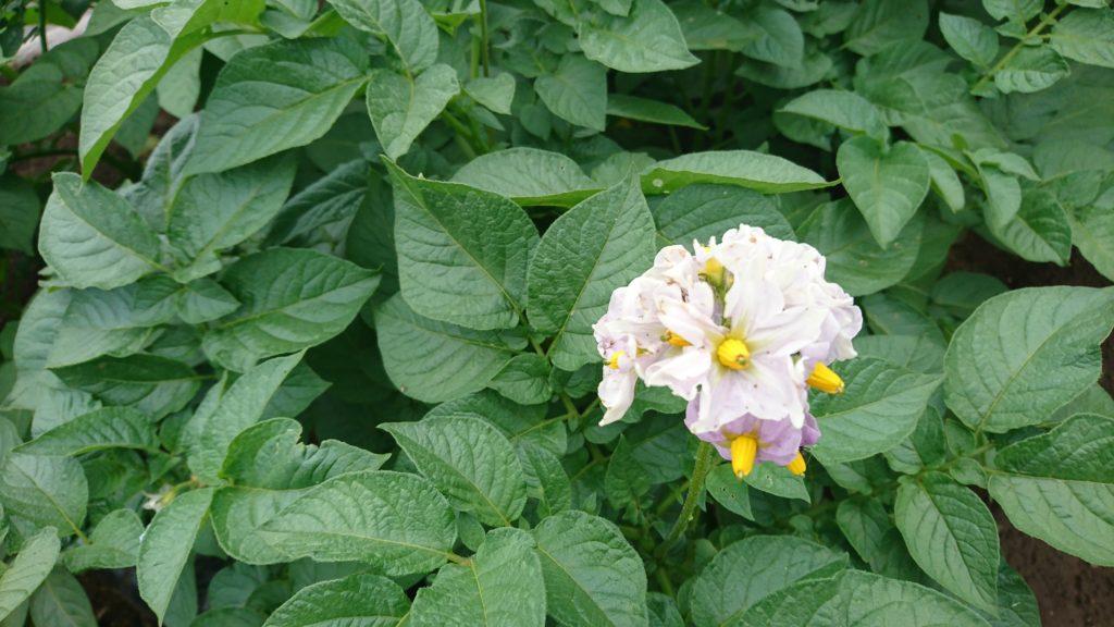 ジャガイモの花が満開に