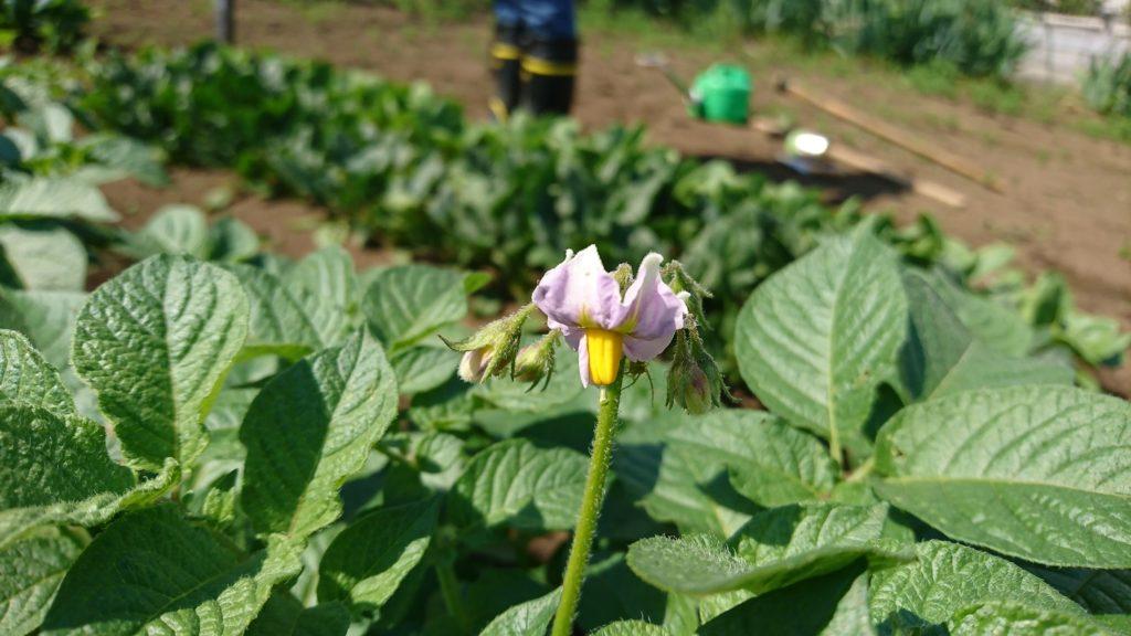 可愛らしいジャガイモの花