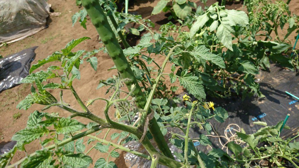 トマトはジャングルになりやすいので芽かきと剪定を忘れずに
