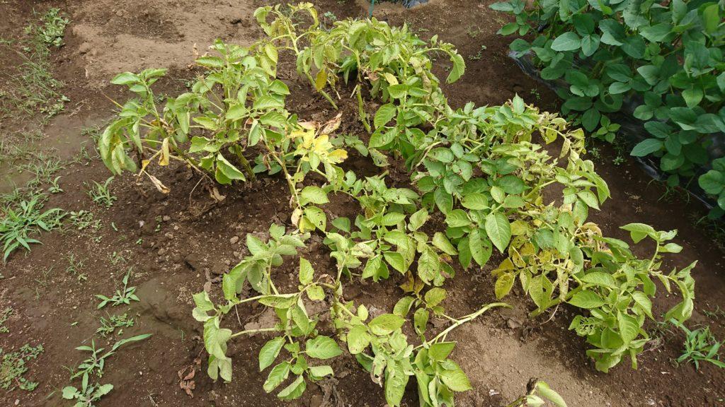 病気と診断されたジャガイモの収穫はいかに