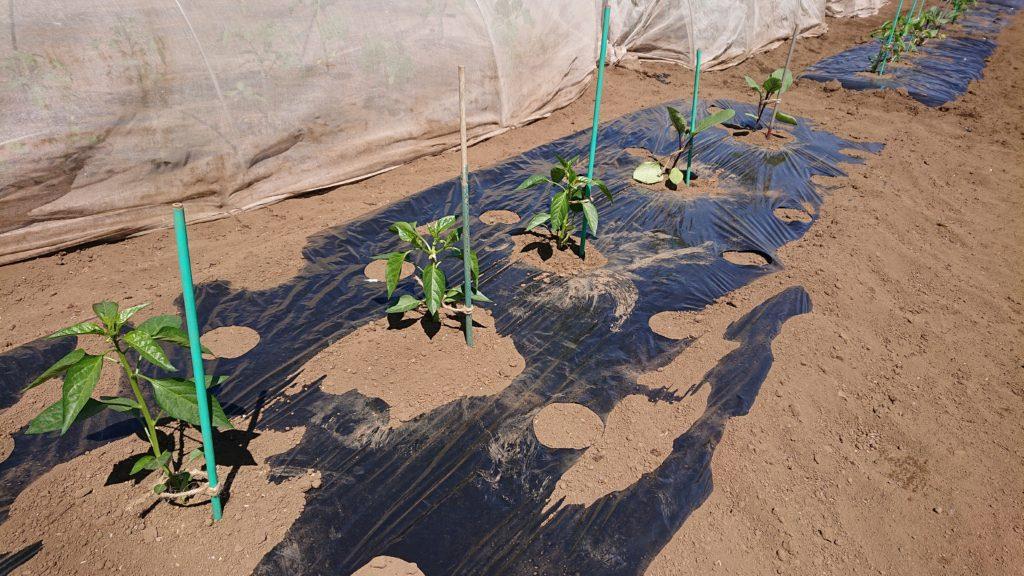 夏野菜の植え付けも完了!