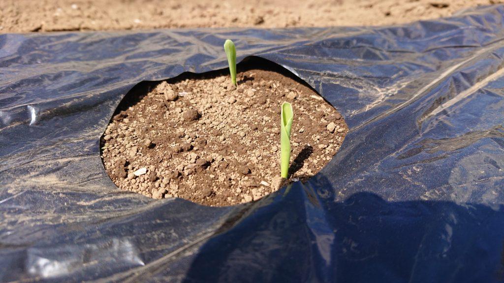 くるんと丸まったトウモロコシの芽