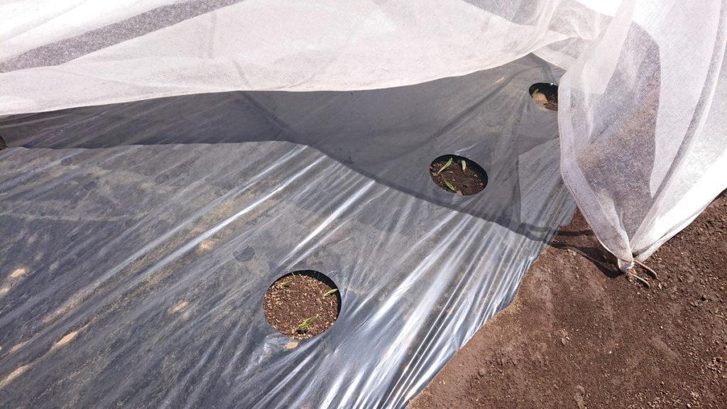 トウモロコシの寒冷紗が風でめくれてしまった