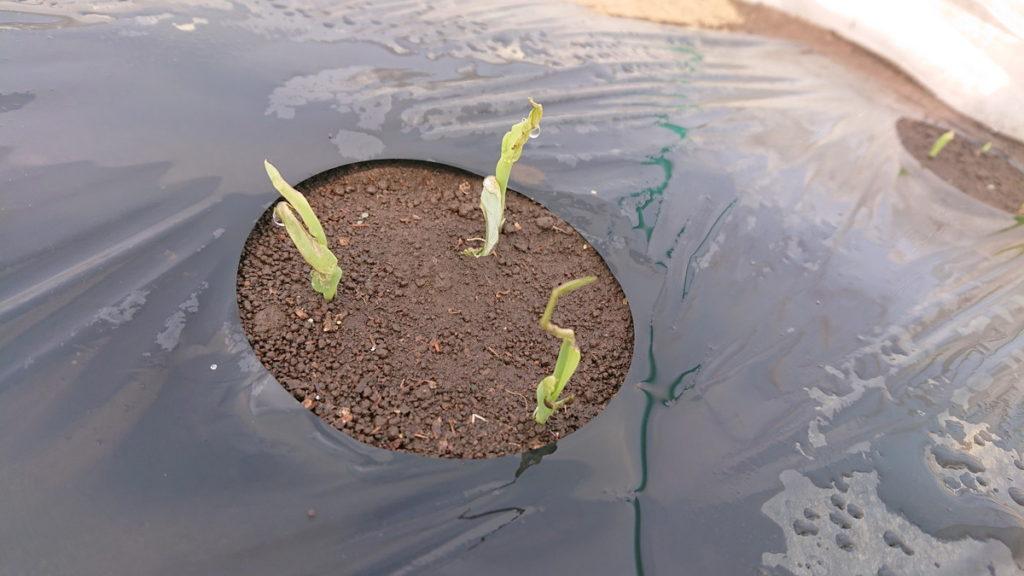 トウモロコシ復活の兆し!