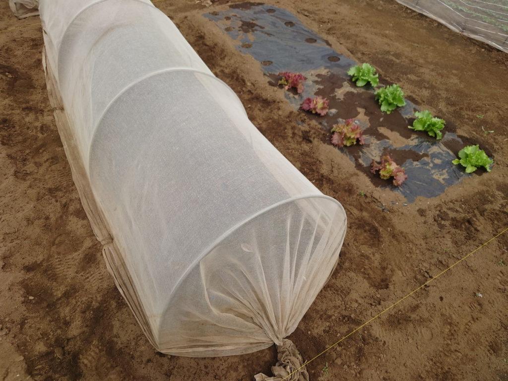 寒冷紗を大根側からトウモロコシ側へ引っ越し