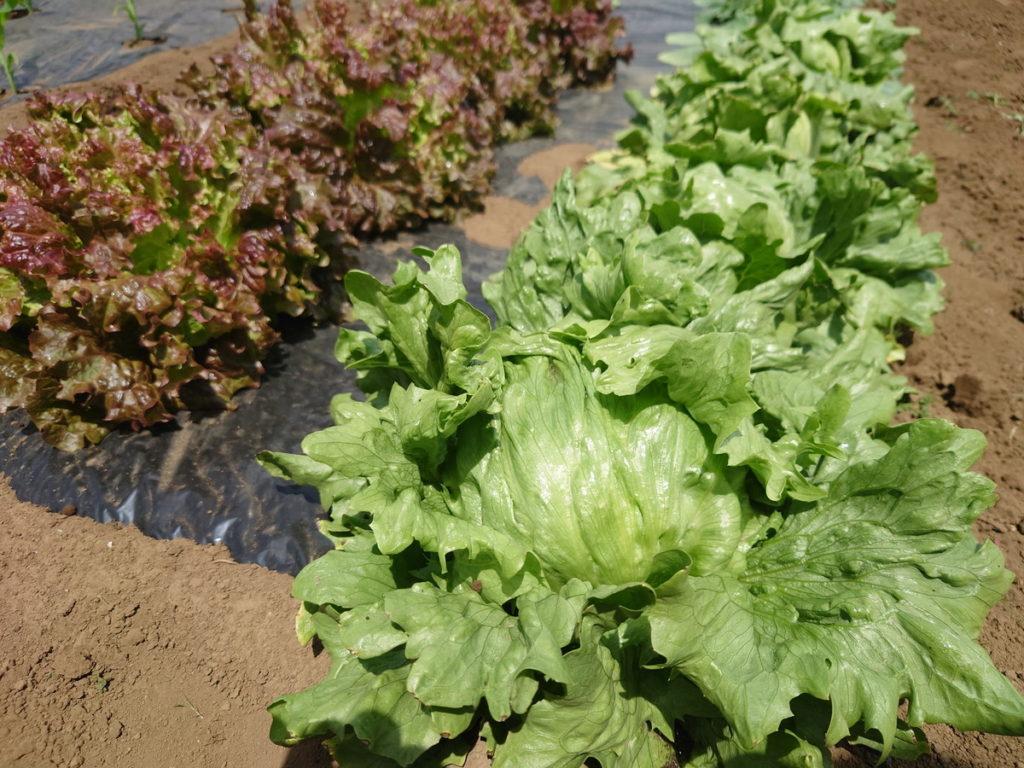 春野菜は収穫が進んでいる
